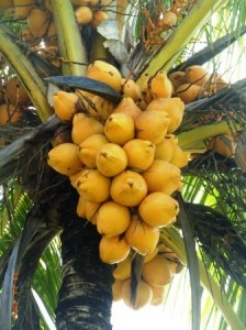 malay coconut bunch